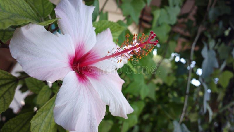Ibiza biały kwiat zdjęcia stock