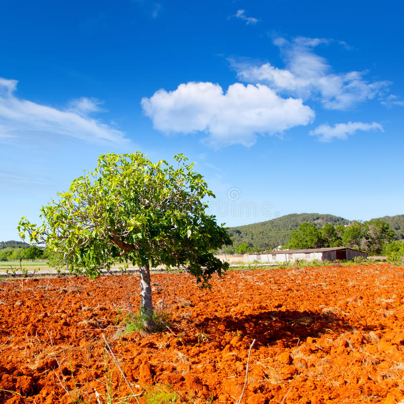 Download Ibiza Mediterranean Agriculture With Fig Tree Stock Image - Image: 25414853