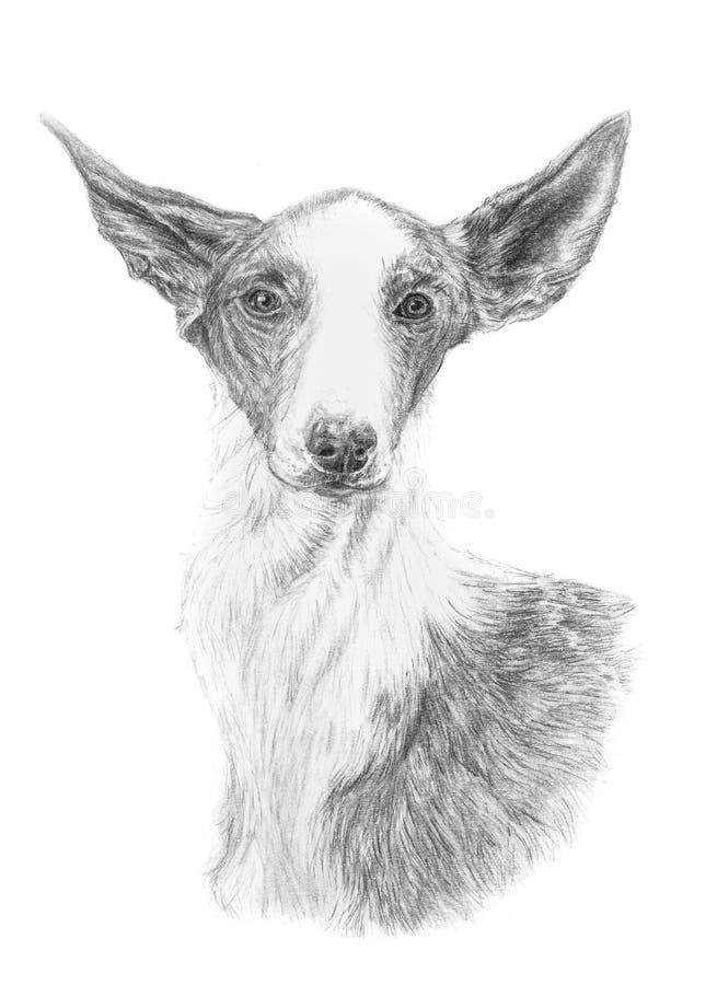 Ibizan猎犬podenco传统上画与石墨铅笔,隔绝在白色背景 向量例证
