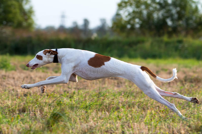Download Ibizan Hound stock image. Image of hound, animal, ibizan - 25987057