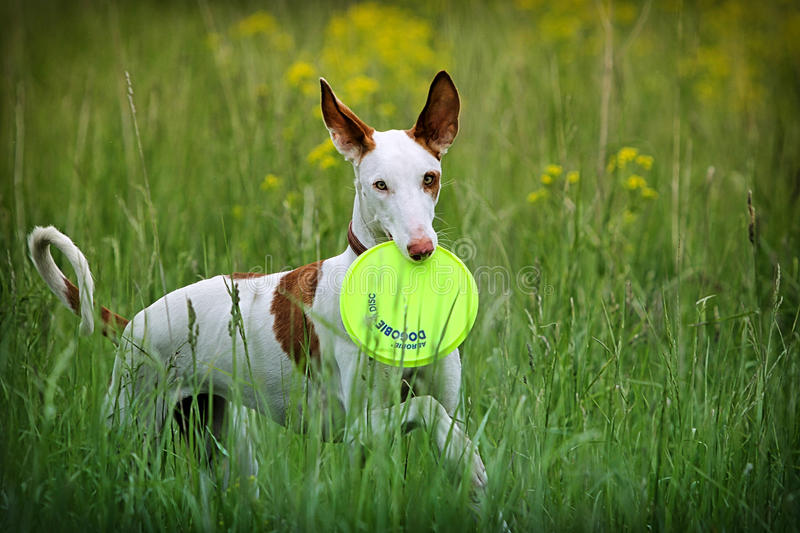 Ibizan Hound dog. Play with frisbie in field stock photo