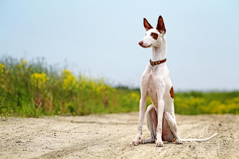 Ibizan Hound dog. Sit on a road in field royalty free stock photography