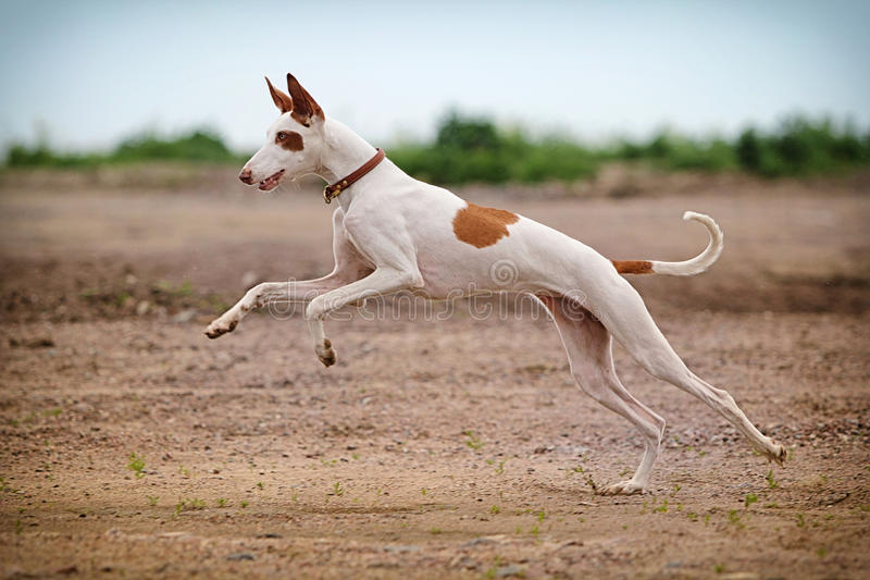Ibizan Hound dog. Stand on a road in field stock photo