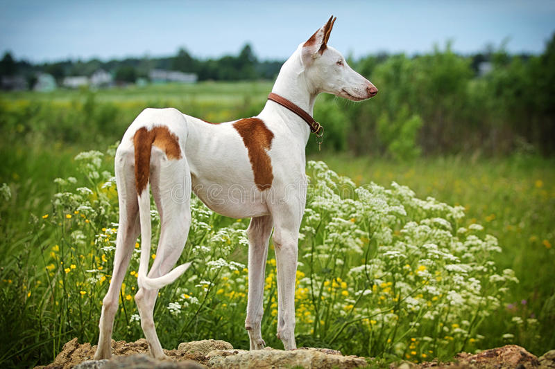 Download Ibizan Hound dog stock image. Image of field, hound, stand - 25925231