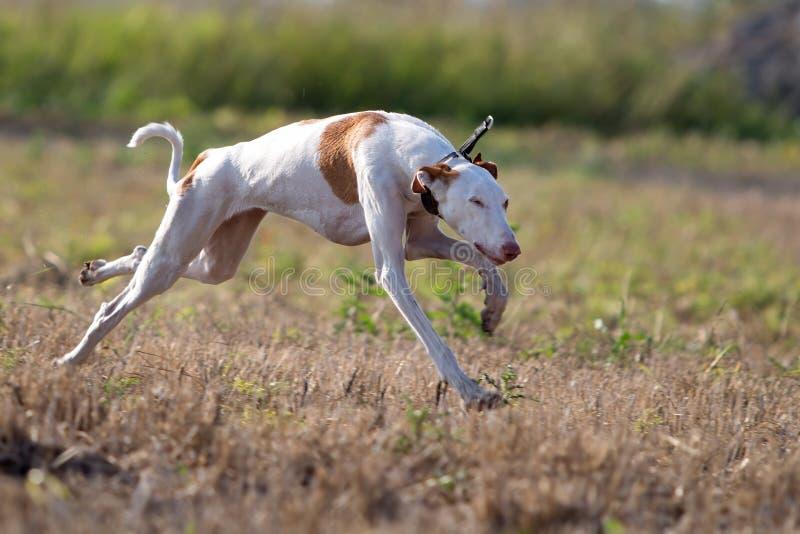 Ibizan Hound dog. Run in field stock photography
