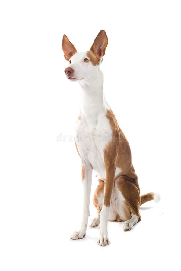 Ibizan Hound dog. Close up of Ibizan Hound dog isolated on white background royalty free stock image
