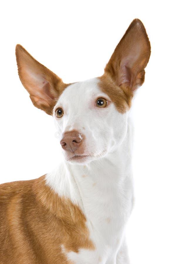 Ibizan hound dog. Close up of Ibizan hound dog isolated on white background stock photo
