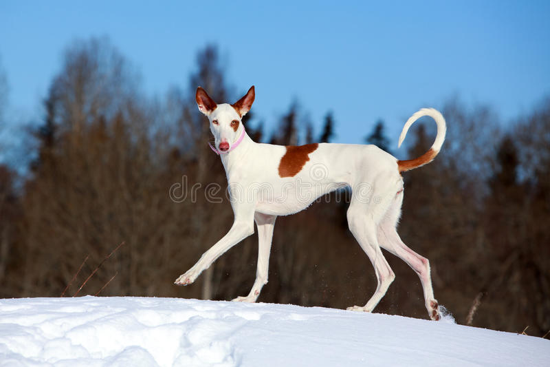 Ibizan Hound dog. In winter stock photo