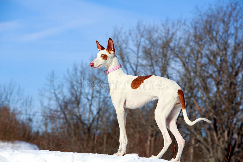 Ibizan Hound dog. In winter royalty free stock images
