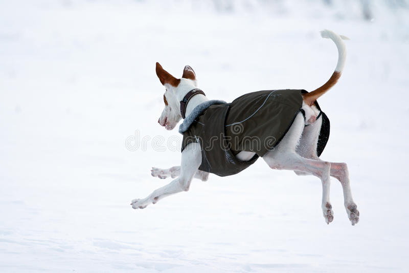 Download Ibizan ogara pies obraz stock. Obraz złożonej z pies - 28566781