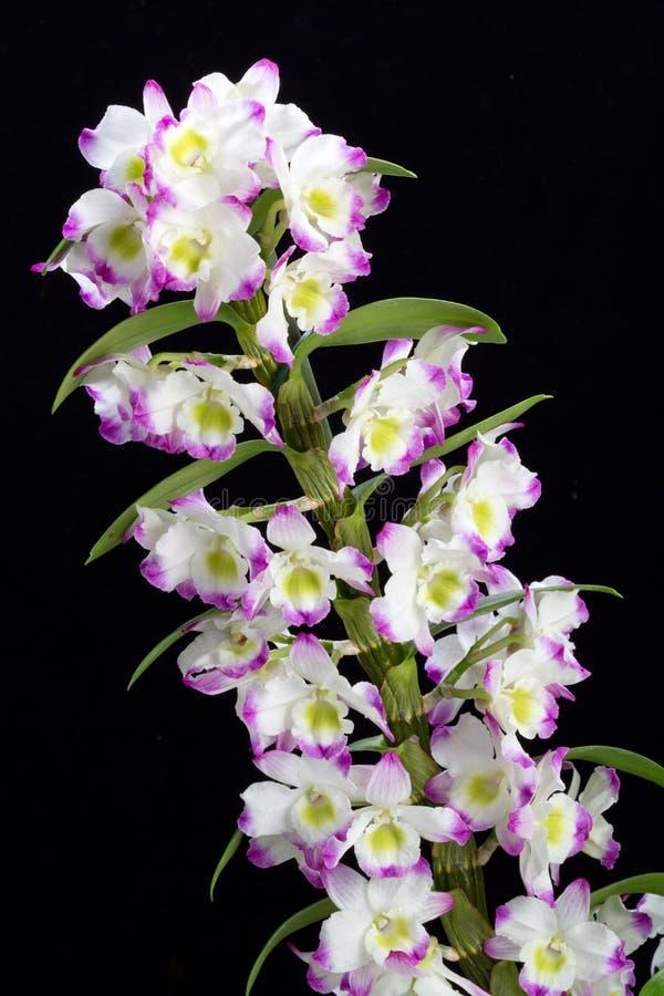 Ibridi dell'orchidea del Dendrobium fotografia stock libera da diritti