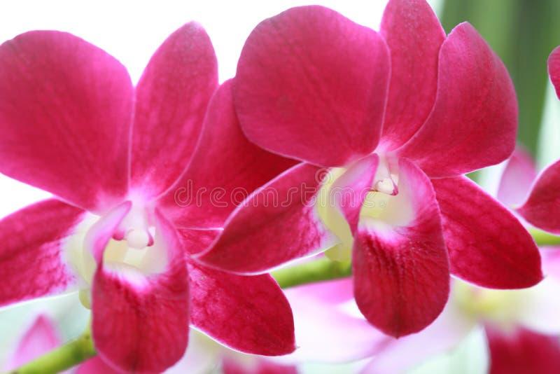 Ibridi dell'orchidea del Dendrobium fotografie stock