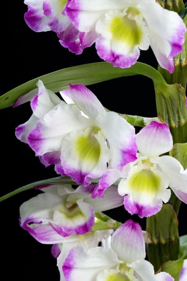 Ibridi dell'orchidea del Dendrobium immagini stock