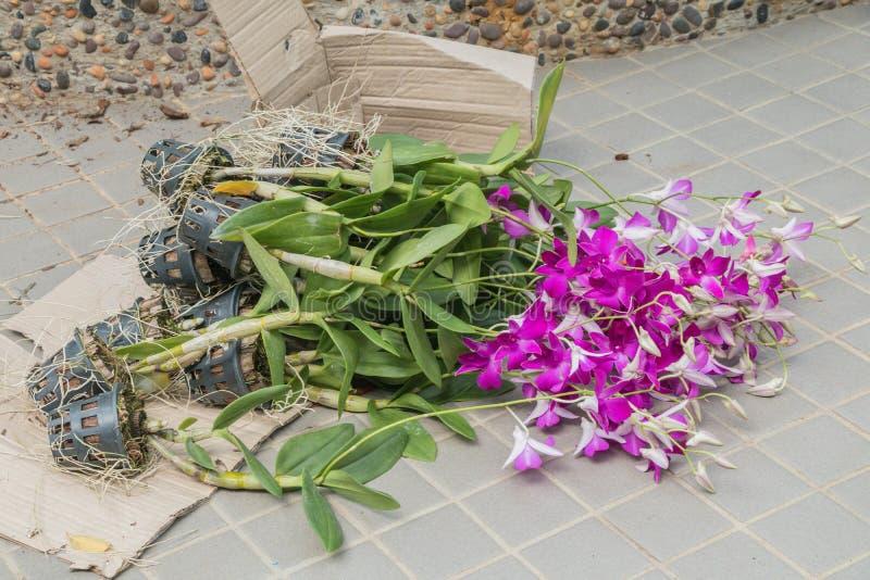 Ibridi dell'orchidea del Dendrobium nel pavimento fotografia stock