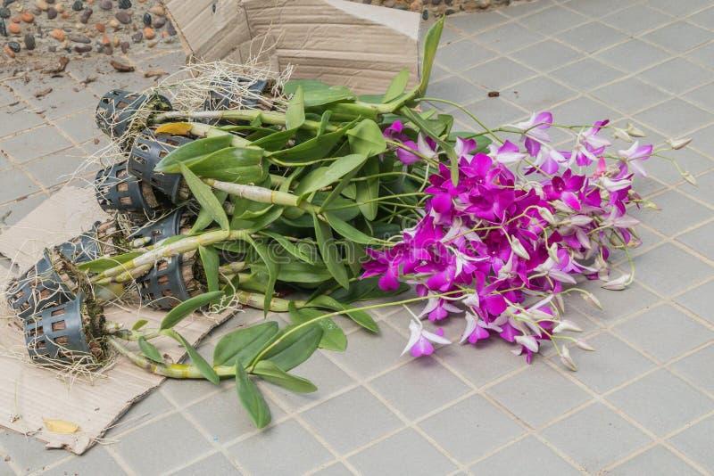 Ibridi dell'orchidea del Dendrobium nel pavimento immagini stock