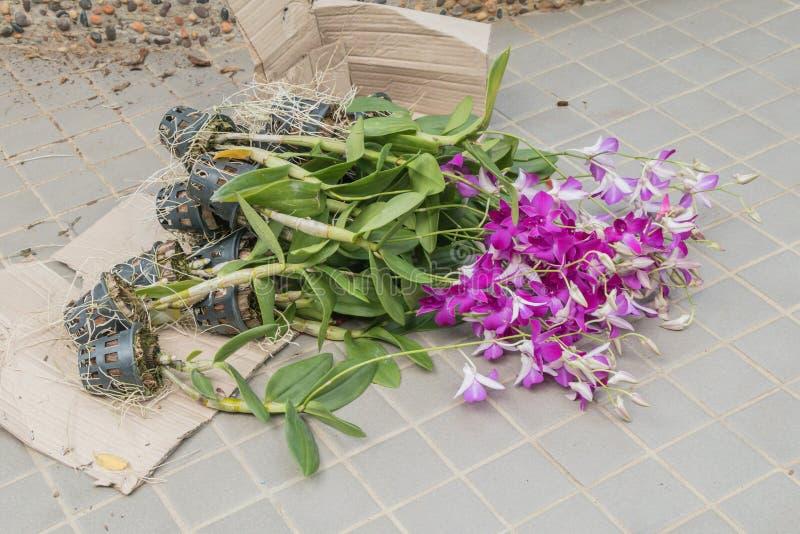 Ibridi dell'orchidea del Dendrobium nel pavimento immagine stock