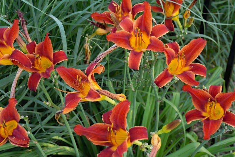 Ibridi marrone rossiccio dell'emerocallide fotografia stock