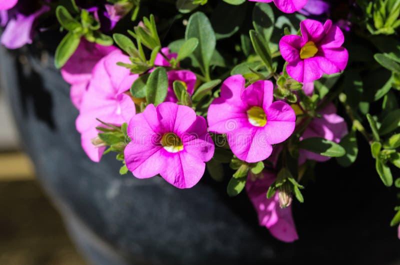 ibrido della petunia (parviflora di Calibrachoa) in giardino in primavera fotografie stock