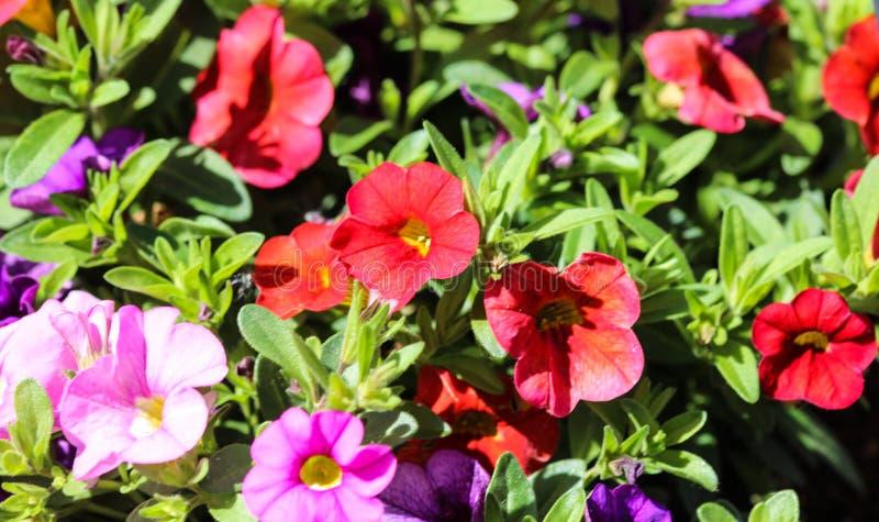 ibrido della petunia (parviflora di Calibrachoa) in giardino in primavera immagine stock libera da diritti