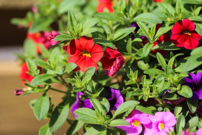 ibrido della petunia (parviflora di Calibrachoa) in giardino in primavera fotografie stock libere da diritti