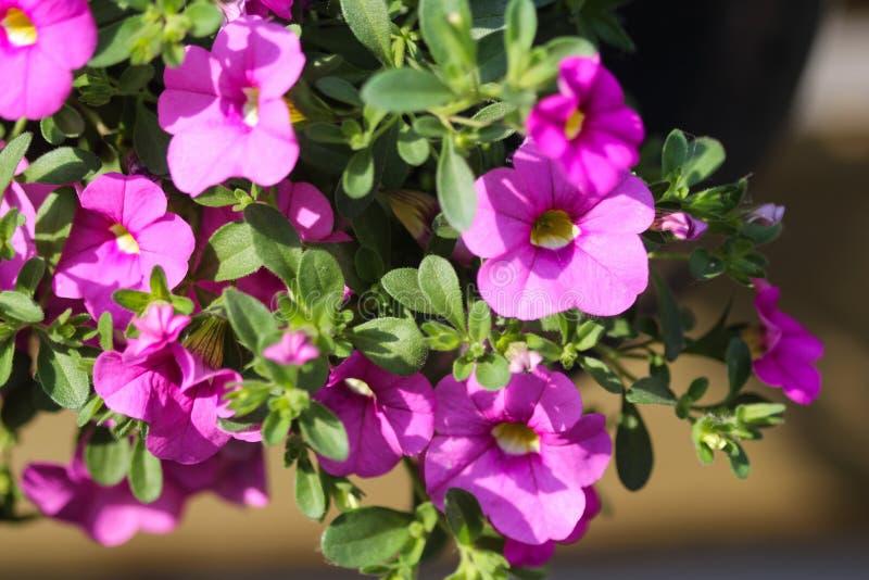 ibrido della petunia (parviflora di Calibrachoa) in giardino in primavera fotografia stock libera da diritti