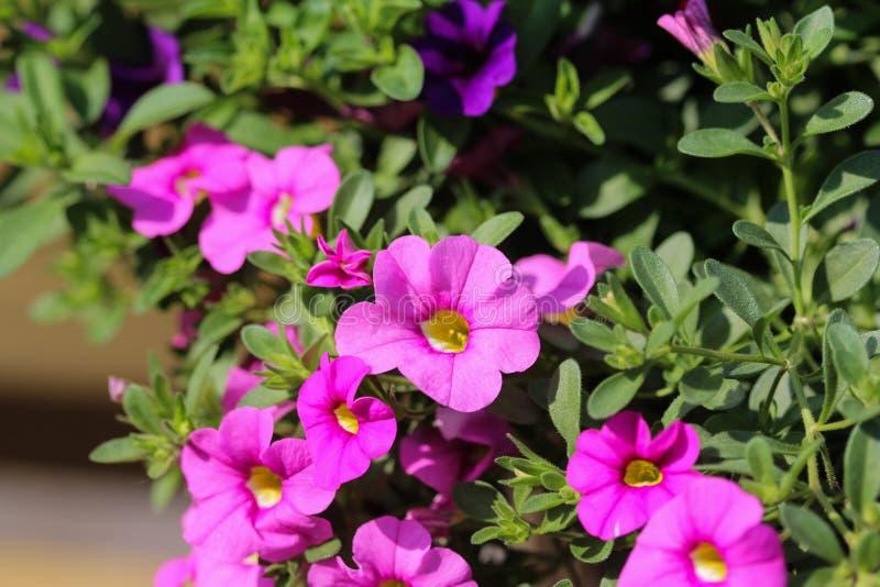 ibrido della petunia (parviflora di Calibrachoa) in giardino in primavera immagine stock