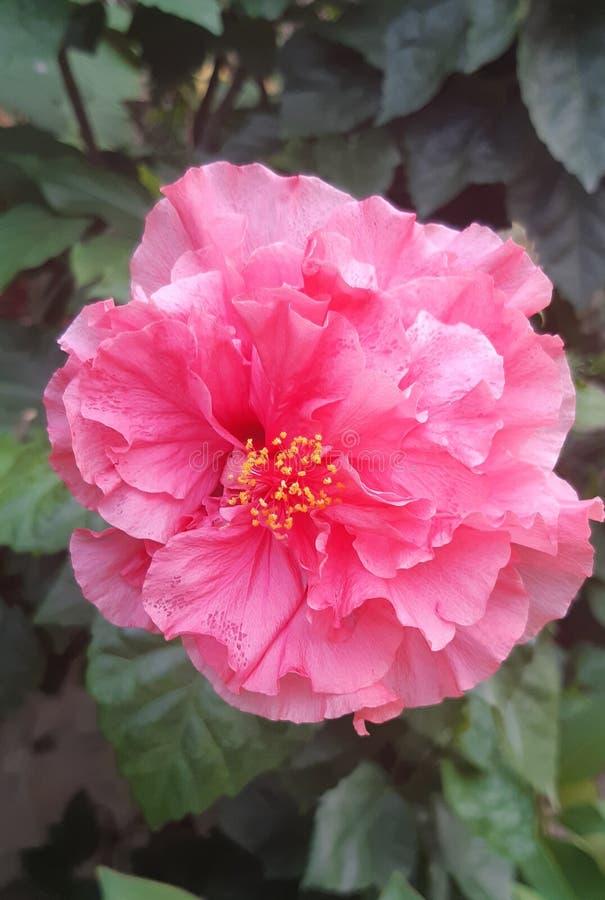 Ibrido rosa fresco adorabile di hibicus di A in un giardino immagine stock libera da diritti
