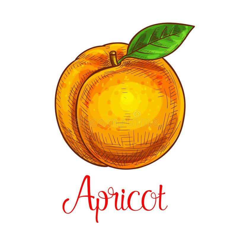 Icône de fruit d'isolement par croquis de vecteur d'abricot illustration stock