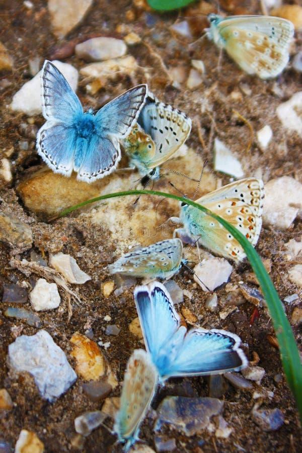 icarus墨角兰polyommatus 免版税图库摄影