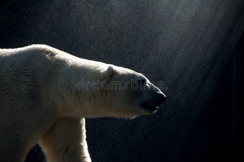 Polar bear walking in the rain during sunshine. Walking Ice (Polar) white bear in the sunshine and in the rain stock image