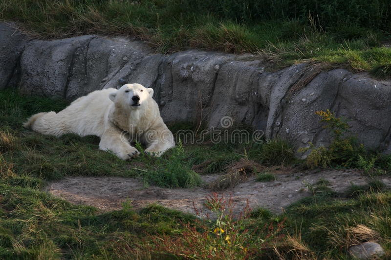 Ice Bear Royalty Free Stock Images