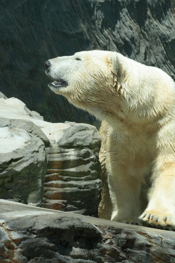 Ice bear. White bear in the ZOO in the Prague stock images