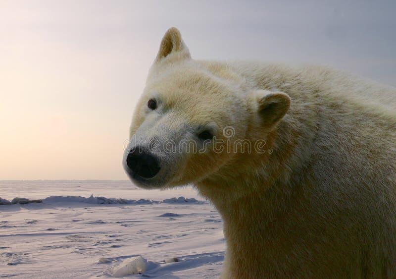 Ice Bear Royalty Free Stock Photo
