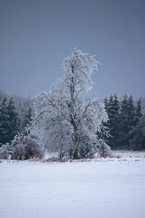 Ice Coated Tree After An Ontario Freezing Rain Storm. Trees at the edge of a farm field in Dufferin County, Ontario, Canada are coated in thick ice, a day after stock photos