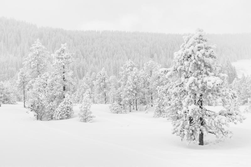 Ice cold high-key winter landscape with fir trees. In the foothills of Switzerland stock photo
