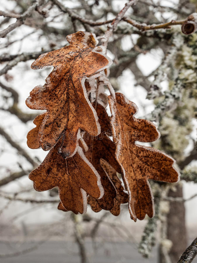 Download Ice covered oak leaves stock photo. Image of leaf, winter - 36285060