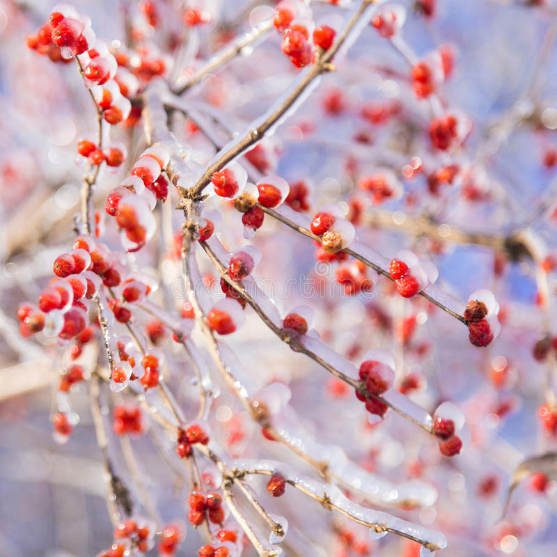 Ice crystals crabapple royalty free stock photography