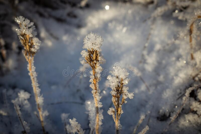 Ice crystals on dead plant in warm light of golden hour royalty free stock images