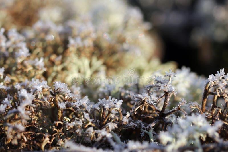 Ice Crystals on Reindeer Lichen (Cladonia) stock photos