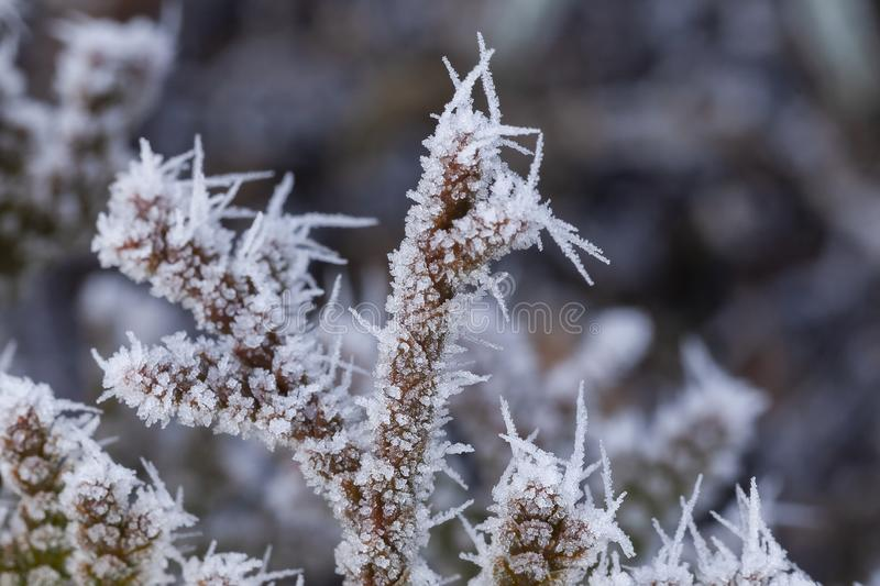 Ice crystals on a winter plant. Ice crystals on a bare plant in winter. Seasonal rural garden scene close up royalty free stock photography