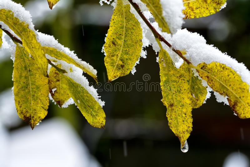 Leaves in Snow royalty free stock photo
