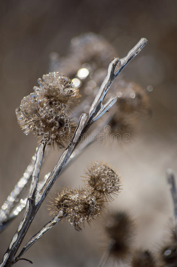 Ice encrusted burdock after ice storm royalty free stock photography