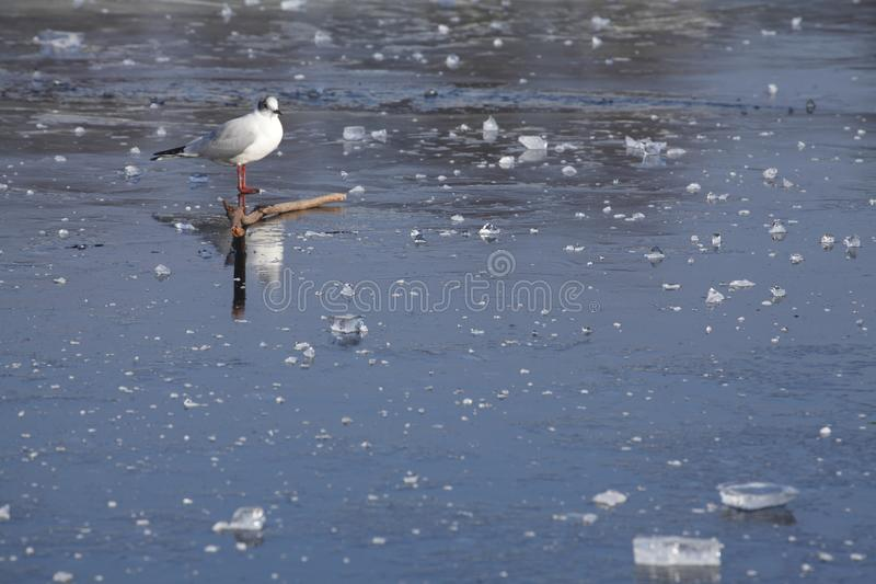 Ice on an icebound lake. Gull, ice cover on an icebound lake stock images