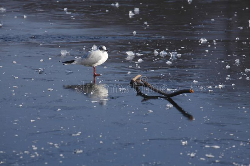 Ice on an icebound lake. Gull, ice cover on an icebound lake royalty free stock image