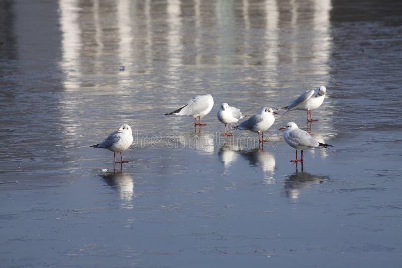 Ice on an icebound lake. Gulls, ice cover on an icebound lake stock image