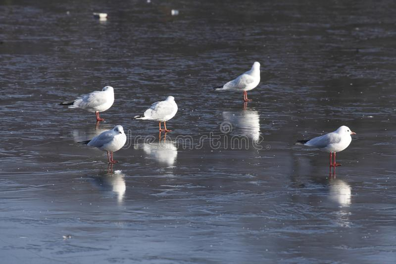 Ice on an icebound lake. Gulls, ice cover on an icebound lake royalty free stock photo
