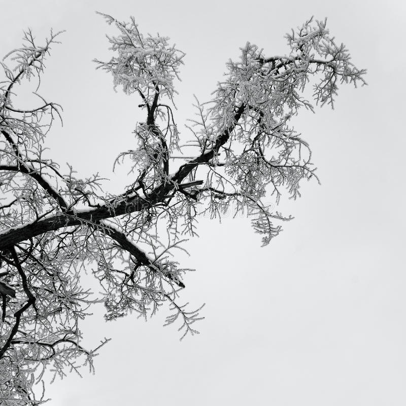 Free Ice On Twig Of Tree Stock Images - 36146054