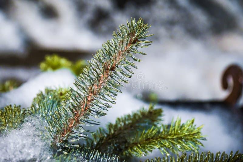 Ice Pine Needle Заморожены Во Время Зимнего Шторма, Эленсбург, Вашингтон, США стоковое изображение