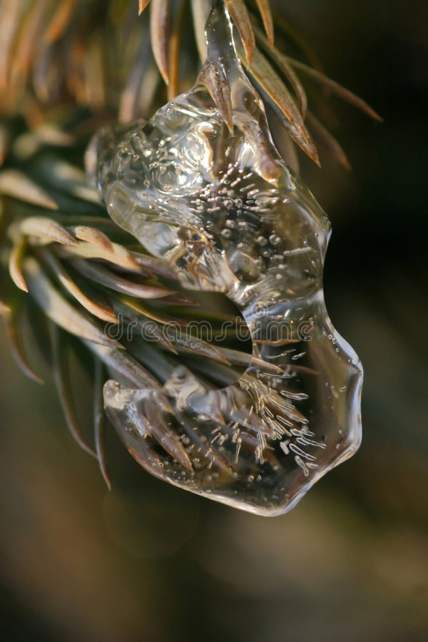 Download Ice on Pine Tree stock photo. Image of pine, cold, bitter - 1582342