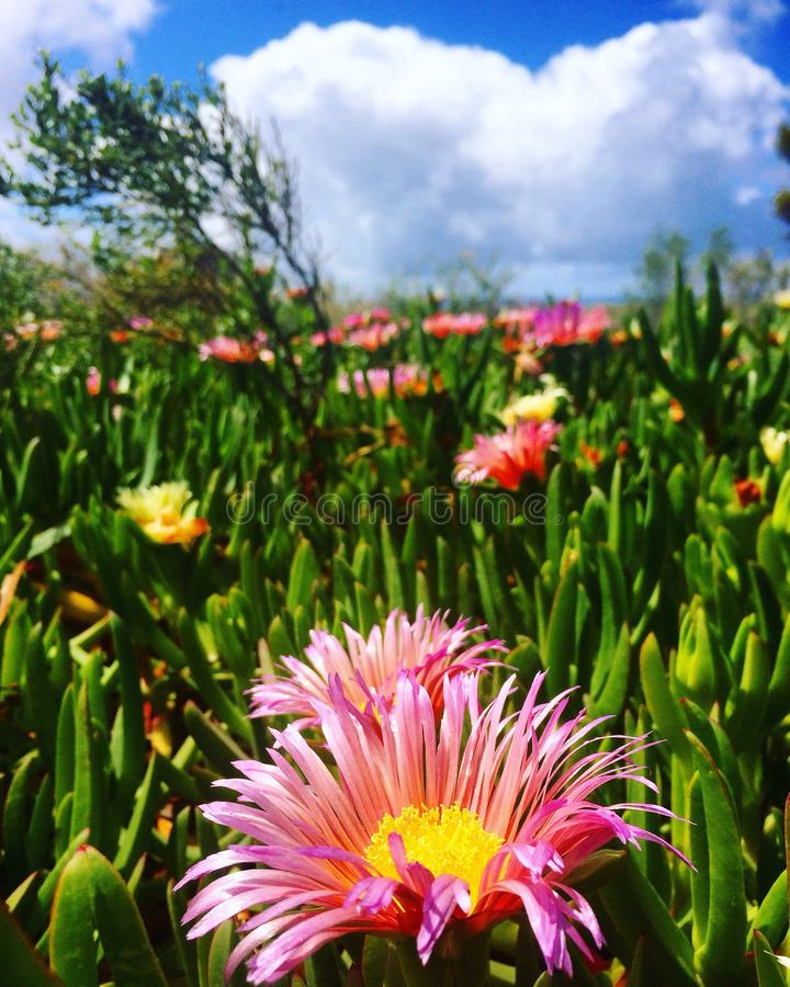 Ice plant blossom, San Diego Coast royalty free stock images